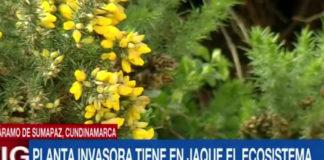 Os medios colombianos fixéronse eco do desmesurado avance do toxo no departamento de Cundinamarca. Imaxe: Caracol TV.