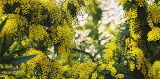 A mimosa (Acacia dealbata) está cada vez máis presente en Galicia. Foto: Michelle Adami.