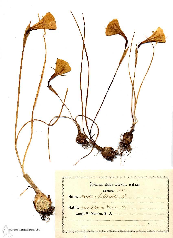 Narciso Bulbocodium