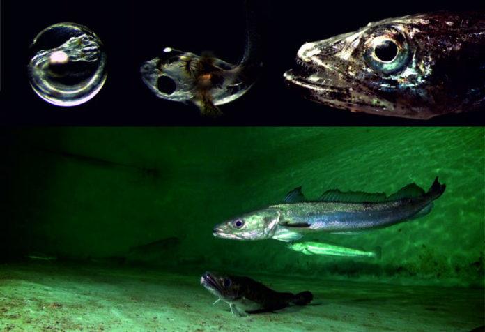 Os resultados do traballo foron publicados na prestixiosa revista Aquaculture. Foto: Duvi.