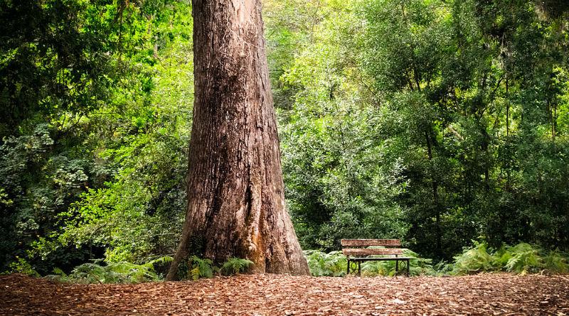 O Avó de Chavin, no Souto da Retorta, unha das árbores incluídas no Catálogo galego de árbores senlleiras. Imaxe: Rodrigo Rega / Wikicommons.