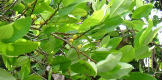 A folla de coca foi, xunto ao curare e a cortiza de quina, unha das tres drogas crúas máis importantes que chegaron a Europa.