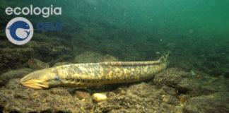 Exemplar adulto de lamprea macho. Foto: Manuel E. Garci.