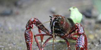 O cangrexo de río americano está ameazando a numerosas especies autóctonas en Galicia.