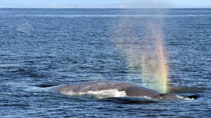 A balea foi avistada a unhas dez millas da costa pontevedresa (ao fondo). Foto: BDRI.