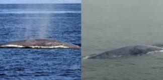 Imaxes do rorcual avistado o día 20 (esquerda) e o día 8 (dereita). Imaxes: BDRI / Manuel María Caamaño Sendón.