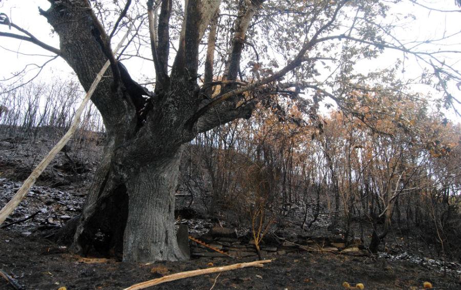 Castiñeiro centenario queimado cerca da Ucella.