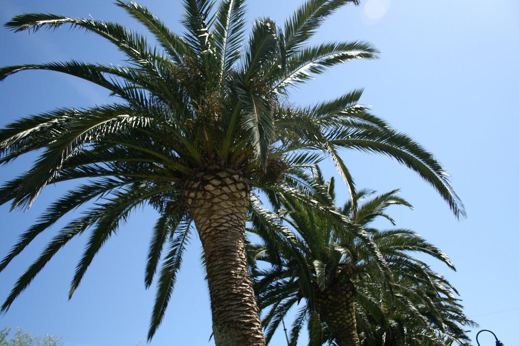 O picudo ataca ás palmeiras ata matala.
