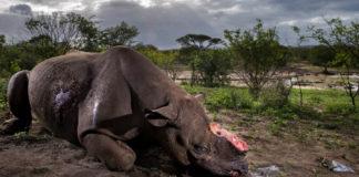 Rinoceronte mutilado no Parque Hluhluwe Imfolozi , en Sudáfrica. Foto: Brent Stirton.