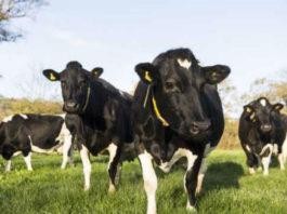 Vacas de leite en réxime de pastoreo. Foto: USC.