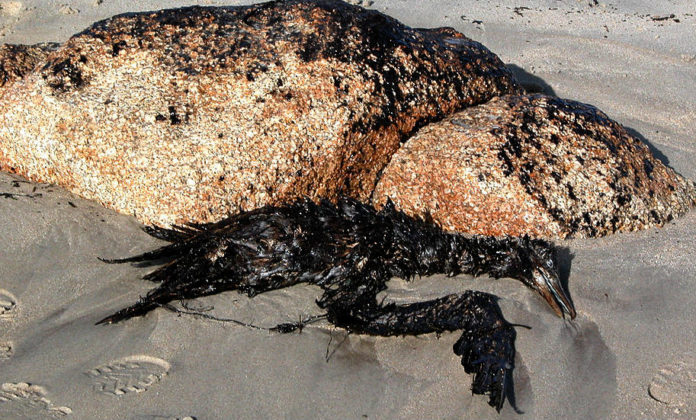 Mascato morto durante a marea negra na praia da Lanzada, no Grove. Foto: Adela Leiro [CC BY-SA 3.0], via Wikimedia Commons.
