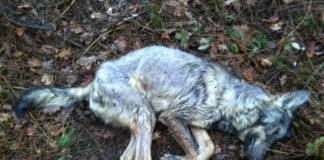 O lobo tiña sinais de disparos en varias partes do corpo. Imaxe: Adega.