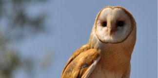 "Exemplar de curuxa común (""Tyto alba""). Foto: Chris / CC BY 2.0."