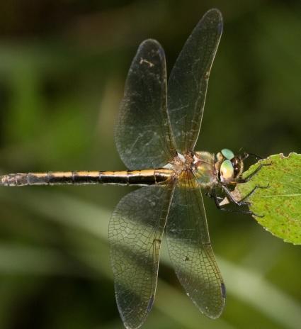 'Oxygastra curtisii', incluída como Vulnerable no Catálogo Galego de Especies Ameazadas. Imaxe: Adolfo Cordero.