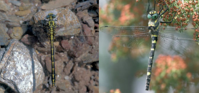 'Gomphus graslinii' (esquerda) e 'Macromia splendens', as dúas especies de cabaliños do demo que se atopan en perigo de extinción en Galicia. Imaxes; Adolfo Cordero.