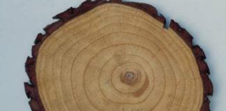 Aneis arbóreos de crecemento dun tronco de pino. Foto: CSIC.