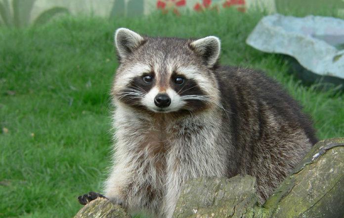 O mapache está considerado como unha especie invasora en Galicia, España e Europa. Foto: Harlequeen - CC BY 2.0.