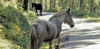 Libera estima que hai centos de cabalos con pexas en Galicia. Imaxe: @LiberaONG.