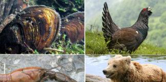 O mexillón de río, a pita do monte, o caranguexo de río e o oso pardo son catro das especies en perigo de extinció incluídas no Catálogo Galego de Especies Ameazadas que non contan con plans de recuperación.