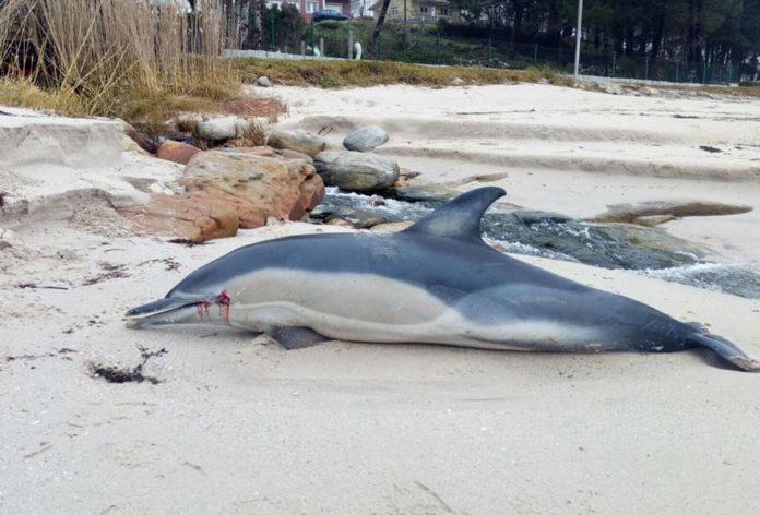 Un dos cetáceos atopados a pasada fin de semana. Imaxe: Manuel Caamaño Sendón.