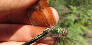 Femia de 'Oxygastra curtisii', unha das especies de libélula estudadas. Foto: Genaro da Silva.