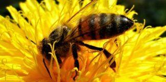 As abellas xogan un papel clave na polinización, e algúns insecticidas ameazan a súa supervivencia.