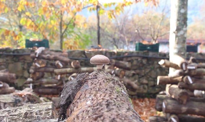 Hifas da Terra, baseada en Pontevedra, produce cogomelos que emprega en diversas aplicacións.