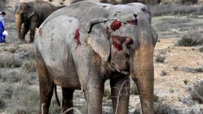 Un elefante ferido no accidente desta semana en Albacete. Imaxe: Infocircos.