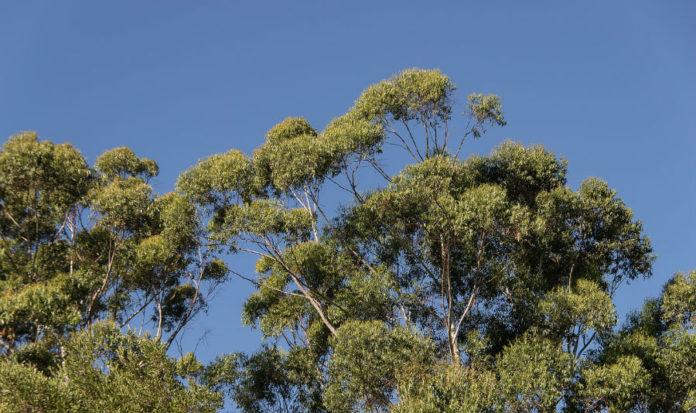 ENCE produce celulosa a partir da madeira de eucalipto. Imaxe: Pixabay.