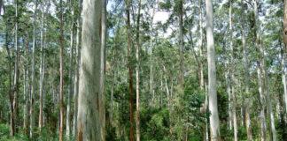 Plantación de eucalipto da especie 'globulus'. Foto: Flickr - Marshal Hedin - CC BY-SA 2.0.