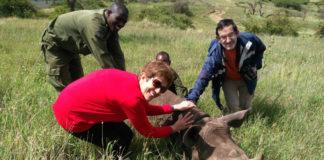 Patrocinio Morrondo e Pablo Díez toman mostras a un rinoceronte. Foto: USC.