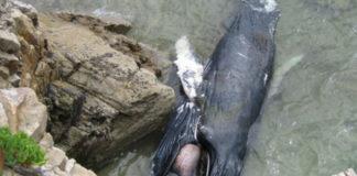 Balea xibardo varada en 2011 en Burela. Foto: CEMMA.