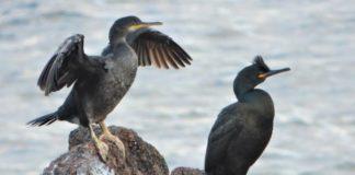"""A SGO denuncia que os datos que recolle o plan sobre o corvo mariño cristado, un dos emblemas do Parque, están """"obsoletos"""". Imaxe: Antonio Sandoval."""