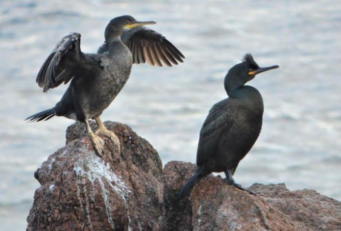 A SGO denuncia que os datos que recolle o plan sobre o corvo mariño cristado, un dos emblemas do Parque, están