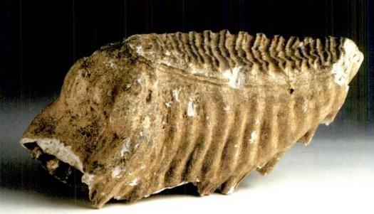 Un dos molares do mamut do Incio. Imaxe extraída do libro O Museo de Historia Natural da Universidade de Santiago de Compostela (2003).