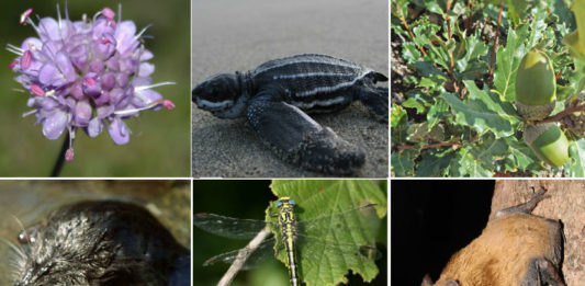 'Succisa pinnatifida', 'Dermochelys coriacea', 'Quercus lusitanica', 'Galemys pyrenaicus', 'Gomphus graslinii' e 'Nyctalus noctula', seis das especies ameazadas en Galicia que seguen sen plan de protección.