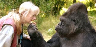 Koko e a súa coidadora, Francine Patterson. Imaxe: Gorilla Foundation.