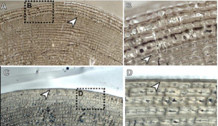Imaxe ao microscopio electrónico da zona cortical dos ósos longos dunha cebra (A e B, fémur e C e D, tibia). A frecha branca indica a liña neonatal. Fonte: Carmen-Nacarino Meneses.