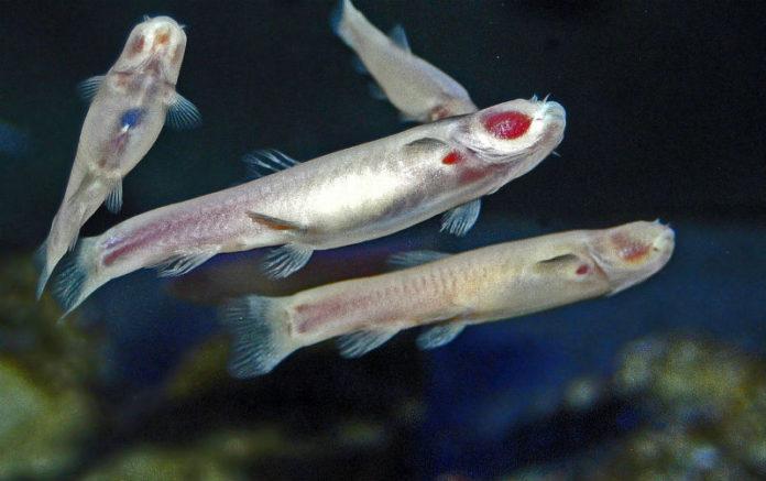 O 'Phreatichthys andruzzii' regula o seu ritmo biolóxico mediante os seus períodos de alimento. Imaxe: Hectonichus / CC BY-SA 3.0.