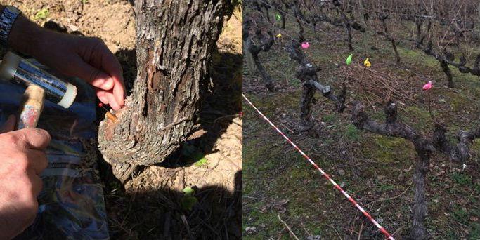 O proxecto avalía o uso de fungos 'Trichoderma' para combater os organismos que causan danos na vide. Foto: USC.