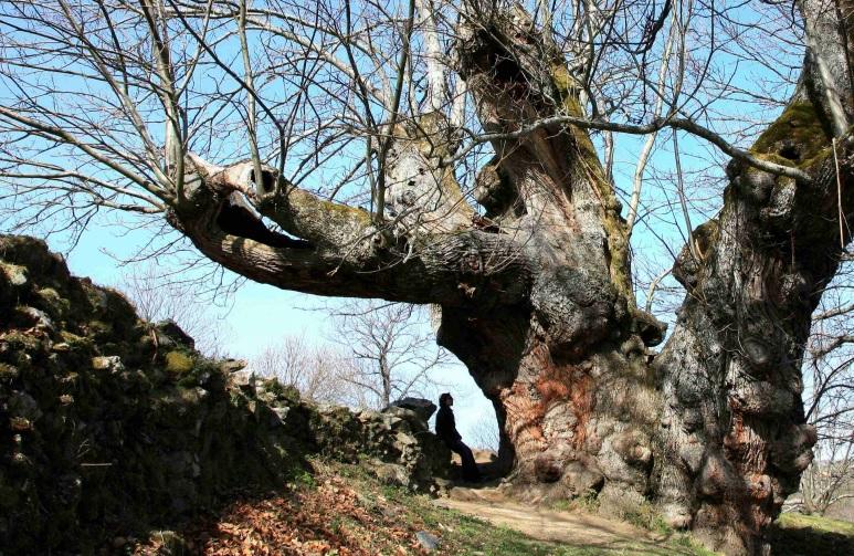 O de Pumbariños, no Souto de Rozabales, en Manzaneda, é un dos castiñeiros máis senlleiros de Galicia. Imaxe: Xunta de Galicia.