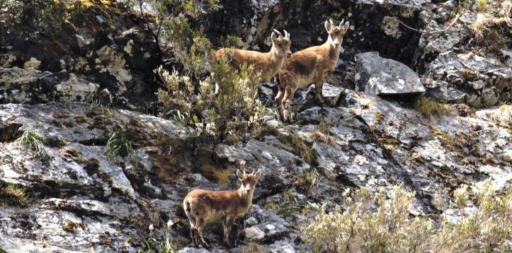 É habitual ver corzos, cervos e cabras montesas polos montes do Invernadeiro. Foto: parquesnaturais.xunta.gal.