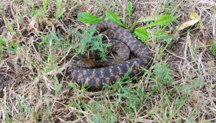 Imaxe da cobra 'Natrix maura' publicada polo PP de Ames nas súas redes sociais.