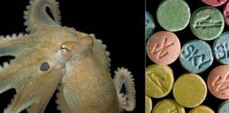 Exemplar de Octopus bimaculoides, especie usada no estudo. Foto: Thomas Kleindinst.