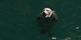 Unha das focas do Aquarium Finisterrae. Foto: MC2.
