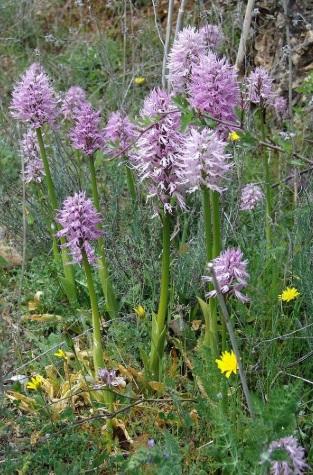 Hay más de 20 especies de orquídea en la Sierra de la Enciña da Lastra. Foto: parquesnaturais.xunta. gal.