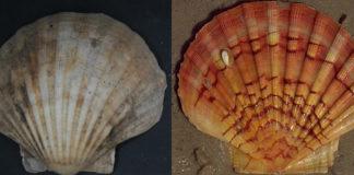 Á esquerda, 'Pecten maximus', a vieira do Atlántico; e á dereita, 'Pecten jacobaeus', especie mediterránea. Fonte: James St. John - CC BY 2.0.