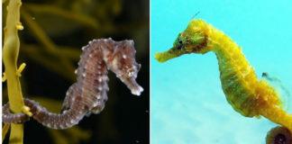 As dúas especies de cabaliños de mar ameazadas en Portugal. Á esquerda, H. hippocampus, e á dereita, H. guttulatus. Fotos: Florin Dumitrescu / Hans Hillewaert; CC BY-SA 4.0.