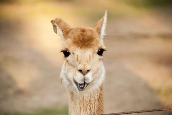 As llamas destacan pola súa singularidade xenética, o que as converte nun animal interesante para a inmunoloxía.