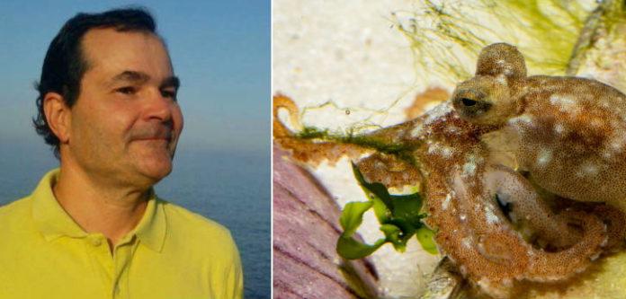 Pedro Domingues forma parte do equipo do IEO que conseguir criar o polbo de acuicultura mudando a súa alimentación. Á dereita, un dos polbos que sobreviviu. Imaxe: IEO.